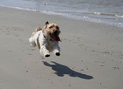 Cape-Cod-Pet-Friendly-Rental-Dog-On-Beach